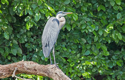 Great Blue Heron on a branch Stock Images