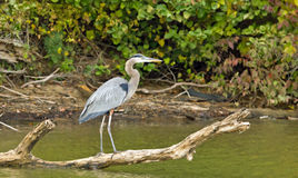 Great Blue Heron on a branch Royalty Free Stock Photo