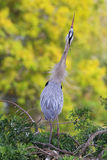 Great Blue Heron in breading display. It is the largest North Am Stock Images