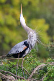 Great Blue Heron in breading display. It is the largest North Am Stock Image