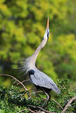 Great Blue Heron in breading display. It is the largest North Am Royalty Free Stock Photography