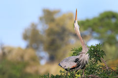 Great Blue Heron in breading display. It is the largest North Am Royalty Free Stock Photo
