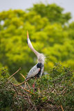 Great Blue Heron in breading display. It is the largest North Am Royalty Free Stock Image