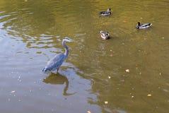 Great Blue Heron. Royalty Free Stock Image