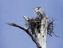 Great Blue Heron in Breeding Plummage Sitting on It's Nest. In a Dead Tree Stock Images