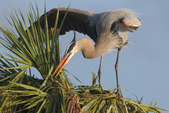 Great Blue Heron Building a Nest in a Palm Tree Royalty Free Stock Photos