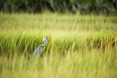 Great Blue Heron busy in marsh Royalty Free Stock Images