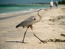 Great Blue Heron on Captiva Florida Beach Royalty Free Stock Image