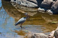 Great Blue Heron with catch Stock Photography