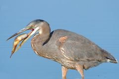 Great Blue Heron with a catch Royalty Free Stock Photo