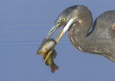 Great Blue Heron with a catch Stock Photo