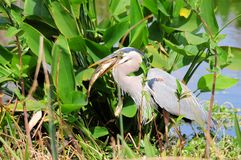 Great blue heron catch of the day Royalty Free Stock Image