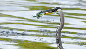 Great Blue Heron catches a Bluegill in soft focus Royalty Free Stock Photo