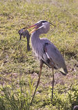 Great Blue Heron Catches Fish Stock Photography