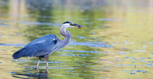 Great Blue Heron catches small bluegill in soft focus Stock Photos