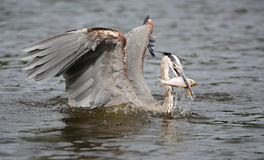 Great Blue Heron Catching A Fish Royalty Free Stock Image