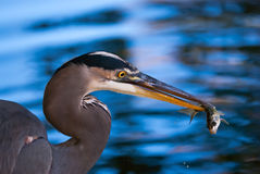 Great Blue Heron catching a fish Stock Photo