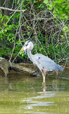 Great Blue Heron catching a fish Royalty Free Stock Photo