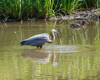 Great Blue Heron catching fish in the lake Stock Photos