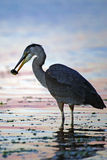 Great Blue Heron catching Fish Stock Photo