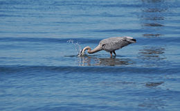 Great Blue Heron catching fish Stock Image