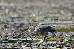 A Great Blue Heron catching Lunch Stock Photography