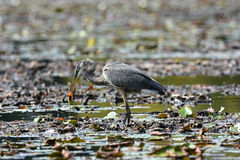 A Great Blue Heron catching Lunch Royalty Free Stock Photo