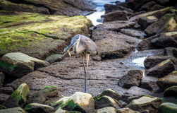 Great Blue Heron Catching a Maryland Blue Crab Stock Images