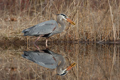 Great Blue Heron Catching a Perch Stock Images