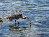 Great Blue Heron catching squid Stock Image