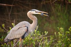 Great Blue Heron with Catfish. In his beak at Everglades National Park Royalty Free Stock Photos