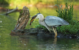 Great Blue Heron with Catfish Stock Photos