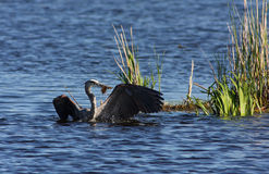 Great Blue Heron with Catfish Royalty Free Stock Image