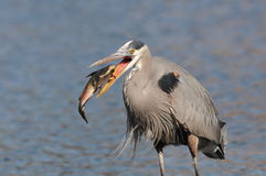 Great Blue Heron with a catfish Stock Image