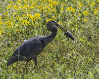 Great Blue Heron with Catfish. In beak. Flowers in bloom in background royalty free stock photography