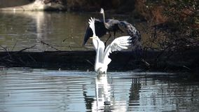 Great blue heron chases great egret away in slow motion video stock video