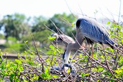 Great blue heron checking chicks in nest Stock Image