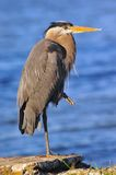 Great Blue Heron on the Chesapeake Bay Stock Photos
