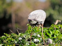 Great blue heron & chick Stock Photography