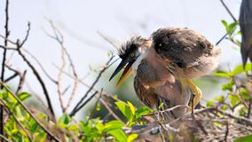 Great blue heron chick in nest Stock Photo