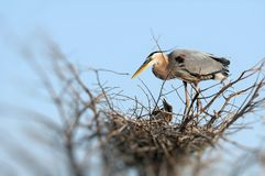 Great blue heron & chicks Royalty Free Stock Photography