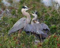 Great Blue Heron chicks begging for food from their parent - Ven. Great Blue Heron chicks Ardea herodias begging for food from their parent - Venice, Florida Stock Image