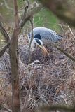 Great Blue Heron and chicks Stock Photos