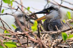 Great blue heron chicks in nest Royalty Free Stock Photography