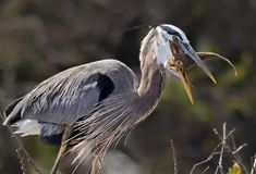 Great Blue Heron Chows Down. A resourceful Great Blue Heron prepares to devour a small fish he captured in the Wakodahatchee Nature Park in Delray Beach, Florida Royalty Free Stock Images