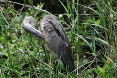 Great Blue Heron cleaning. Everglades Great Blue Heron with long bill under wing stock photo