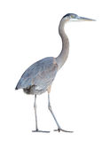 Great Blue Heron with Clipping Path Stock Photography