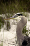 Great Blue Heron close up Royalty Free Stock Photo