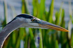 Great Blue Heron Close Up Royalty Free Stock Image