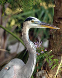 Great blue heron. Close up as it calmly watches over the water from the shoreline Stock Photo